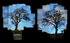 Tree Photomontage (ldjldj) Tags: nottingham david tree montage photomontage hockney joiner nottinghamshire panograph