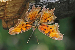 CAC038081a (jerryoldenettel) Tags: butterfly insect nm comma 2016 nymphalidae polygonia hoarycomma polygoniagracilis nymphalinae cibolaco cibolanf ojoredondocampground