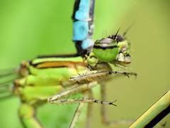 Stream Bluets Mating (treegrow) Tags: nature insect washingtondc rockcreekpark arthropoda odonata zygoptera coenagrionidae lifeonearth raynoxdcr250 enallagmaexsulans taxonomy:binomial=enallagmaexsulans canonpowershotsx40hs