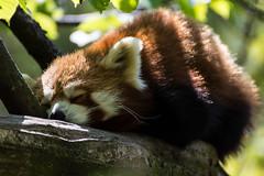 kleiner Panda (CGR Moments) Tags: berlin animal panda schlafen tierpark kleiner tier tierfotografie