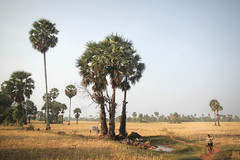 Cambodia (fredcan) Tags: travel trees field bicycle children landscape countryside asia cambodge cambodia southeastasia flat path dry kampot sugarpalms fredcan villeagers