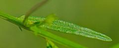 CAC038815a (jerryoldenettel) Tags: ar 2016 siloamsprings polygala polygalaceae fabales rosids polygalasanguinea bentonco chesneyprairienaturalarea fieldmlkwort mlkwort