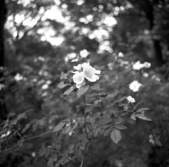 Blume (anfenglin) Tags: blackandwhite 120 6x6 mediumformat analogue expiredfilm sqare kodaktrix320 filmism epsonv500 selfdevelopedfilm carlzeissjenaflektogon450 caffenolch kwpraktisix