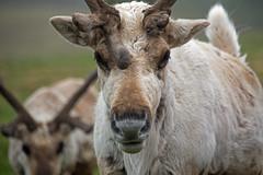 Reindeer (Nifty_Shoes) Tags: summer june reindeer scotland