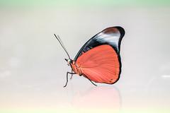 Panacea regina (fabriciodo) Tags: orange macro butterfly insect lepidoptera reflet papillon borboleta mariposa schmetterlinge farfalle lpidoptre sigma150 panacearegina nikond750