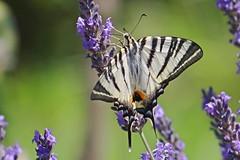 Le Flamb et lavande (GCau) Tags: france nature lavender provence lavande iphiclidespodalirius gecau leflambe
