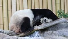Enough with the photos!  Lemme sleep! (jmaxtours) Tags: toronto male zoo father giantpanda torontozoo lemmesleep