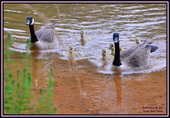 Three of a Kind times Two (George Case, Kountry Roads Imaging) Tags: geese westpointlake livinthedream kountryroadsimaging westpointgeorgia georgecase corpsofengineerscampground