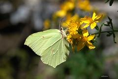 come una foglia di verza :-) (alesolofoto) Tags: butterfly italia fiori lombardia varese farfalla citronella campodeifiori gonepteryxramni