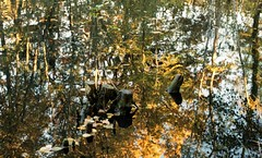 Cesson, miroir aquatique, 5 (Patrick.Raymond (2M views)) Tags: cesson tang reflet bois arbre foret lomography nikon argentique expressyourself beautifulphoto