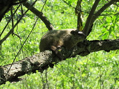Woodchuck in tree (elizabeth's*whimsies) Tags: woodchuck wildlife ny