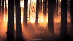 Misty forest (Kysti Vlitalo) Tags: kes elokuu lappi posio riisitunturi fog misty forest tree yeallow golden dreamy morning nature landscape finland