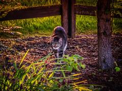 Homeward Bound (Colormaniac too) Tags: light summer pet animal cat garden evening backyard feline dusk tabby olympicpeninsula sequim journey pacificnorthwest summertime washingtonstate homeward distressedtextures flypapertextures