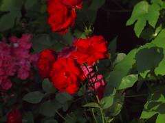Rosenblten-Bltter (bratispixl) Tags: germany oberbayern spot tele schrfentiefe chiemgau lichtwechsel blumengarten traunreut rosenbltenbltter fokussierung stadtrundweg bratispixl