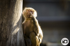 Melbourne Zoo (dylanm1999) Tags: animal zoo monkey melbourne
