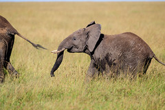 Wait for me! (cdx_cdx) Tags: baby landscape scenery kenya safari elephants masaimara canonef500mmf4lisii canoneos1dxmarkii