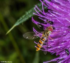 Hoverfly_Episyrphus balteatus01.jpg (T9FURY) Tags: july hoverfly rutlandwater 2016 episyrphusbalteatus