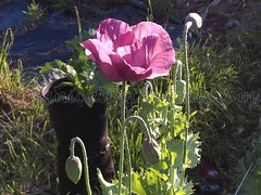 13503069_10206459027450921_7144030116376453419_o (Unusual Botanicals) Tags: fish macro eye art lens photography high grow fisheye attachment afghan poppy poppies resolution farms hd how growing hq poppyseed izmir lenses botanicals iphone highres papaversomniferum opiumpoppy poppypods organical opiumpoppies turkishimports iphoneography poppycultivation organicalbotanicals opiumpoppycultivation opiumpoppiesseed izmiroilampspicecompany izmirpoppy