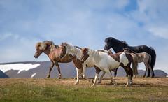 Icelandic Horses-5508 (Dante's Paparazzi) Tags: horses handheld apertureacademy iceland2016
