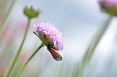 (robra shotography []O]) Tags: flower fiore closeup bokeh blur nature beauty insetto insect falena moth magic magia incantesimo spell natura sooc
