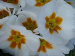 White Primroses ! (Mara 1) Tags: white yellow garden petals spring centre cluster primeroses
