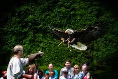 Eagle Show (stevehimages) Tags: steveh stevehimages warden steve higgins grandpas den wowzers 2016 warwick castle eagle