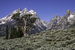 The Patriarch Tree, Grand Teton National Park (HDRob) Tags: thepatriarchtree grandtetonnationalpark grandtetons tree landscape