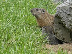 Ground Hog Family 1 (Photo Squirrel) Tags: baby grass rock mammal mother woodchuck groundhog brunswickmd whistlepig marmotamonax