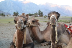 friends (sootix) Tags: sand camelride bactriancamel