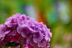 () /Hydrangea macrophylla (nobuflickr) Tags: flower nature japan kyoto   hydrangea   hydrangeamacrophylla  awesomeblossoms chisyakuintemple  20160615dsc03087