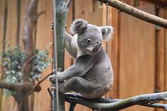 Koala bear (WarmYeti) Tags: cute nature animal outside outdoors zoo scotland edinburgh koala koalabear edinburghzoo