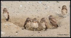 An Extraordinary Family 0199 (maguire33@verizon.net) Tags: california ontario bird us unitedstates wildlife siblings chick owl burrowingowl owlet