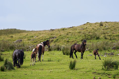 Horses and Foals on Divis Mountain (Philip McErlean) Tags: horse nikon belfast hills foal upland divis d3200