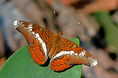 Lebadea martha - the Knight (BugsAlive) Tags: macro nature animal butterfly insect thailand outdoor wildlife butterflies insects lepidoptera chiangmai nymphalidae nymphalinae theknight doisutheppuinp lebadeamartha liveinsects thailandbutterflies
