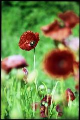 Untitled. . (bluebagski) Tags: poppys minoltadynax60 fujicolorc200 film colour color tetenalc41kit red green depthoffield fuji homedevelopment homeprocess minolta28100mmf35f56lens