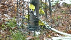 Finches at feeder, Wayne, Nebraska (ali eminov) Tags: birds animals spring seasons finches fourseasons yellowfinches
