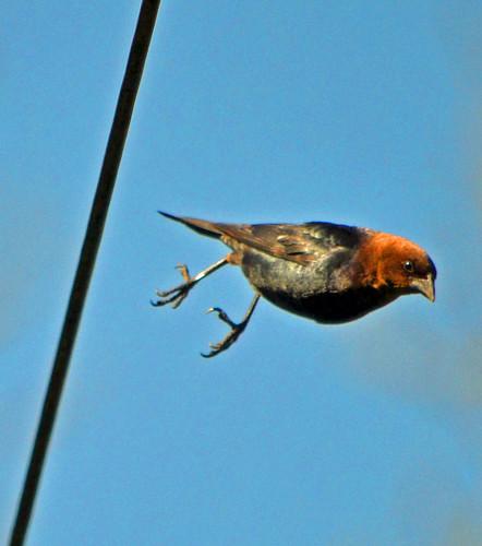 ontario canada bicycle spring story flattire stratford oneofthosedays molothrusalter malebrownheadedcowbird