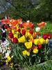 Tulpen, Blumen, Frühling (Würzblog) Tags: blumen würzburg frühling tulpen mainkai flickrandroidapp:filter=none