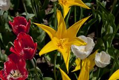 yellow, white and red tulips (gregork.) Tags: spring maj tulipan 2013 pomlad mozirje mozirskigaj