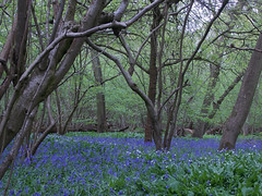 Bluebells and Wild Garlic (Deb Simpkins) Tags: trees flower spring woods nikon bedfordshire coolpix bluebell wildgarlic flitwick 2013 l810 flitwickwood