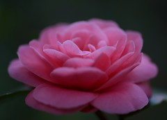 Camellia,Ohshokun (love_child_kyoto) Tags: winter flower macro spring kyoto camellia       masterphotos ohshokun nikond800   d800 dreamlikephotos
