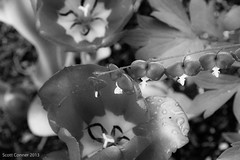Bleeding Heart with Tulips B&W (Southern New England Photography) Tags: flowers bw art yard spring tulips natural bleedingheart ourhouse