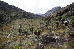 uga_0790 (Peter Hessel) Tags: nationalpark unescoworldheritagesite unesco trail uganda rwenzori ruwenzori rwenzorimountains mountainsofthemoon senecios ruwenzorimountains giantsenecio rwenzorimountainsnationalpark kilembetrail dendrosenecioadnivalis dendrosenecioericirosenii senecioericirosenii bugatacamphunwickscamptre