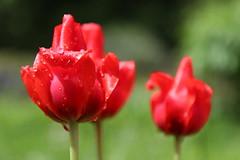 Red-Green Pt. II (Been Around) Tags: austria sterreich drops waterdrop europa europe tulips eu drop waterdrops redgreen autriche tropfen tulpen aut a