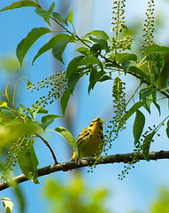4. Prairie Warbler in a chokecherry tree (A. Drauglis) Tags: tree bird eating birding caterpillar va frontroyal chokecherry prairiewarbler scbi smithsonianconservationbiologyinstitute setophagadiscolor
