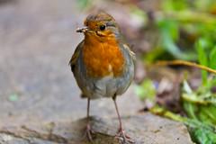 Bug Hunting (Ozman666) Tags: summer cute bird london robin bug garden cheers chuck cheers2 chuck2 chuck3 chuck4 cheers3 chuck6 chuck9 chuckedoutbythepigsty chuck5 chuck7 chuck8