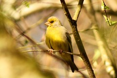 baby greenfinch (Suzie Noble) Tags: tree bird garden finch greenfinch strathglass struy