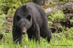 Black Bear (LisaHufnagel) Tags: bear wild nature beautiful photography nikon bc britishcolumbia wildlife northern blackbear northernbc ursusamericanus 70200mmf28 d7000