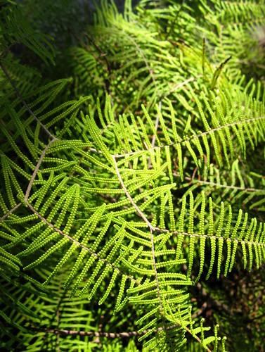 The Great North Walk - Ferns