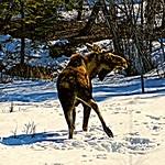 Moose dance - Alaska thumbnail
